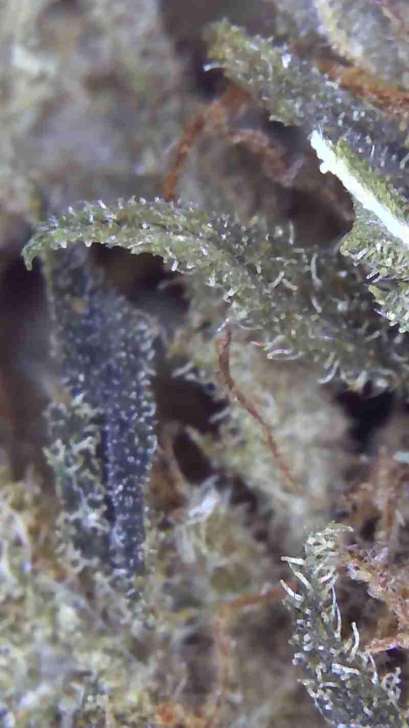 Strawberry Haze Susz Konopny CBD 7% 1