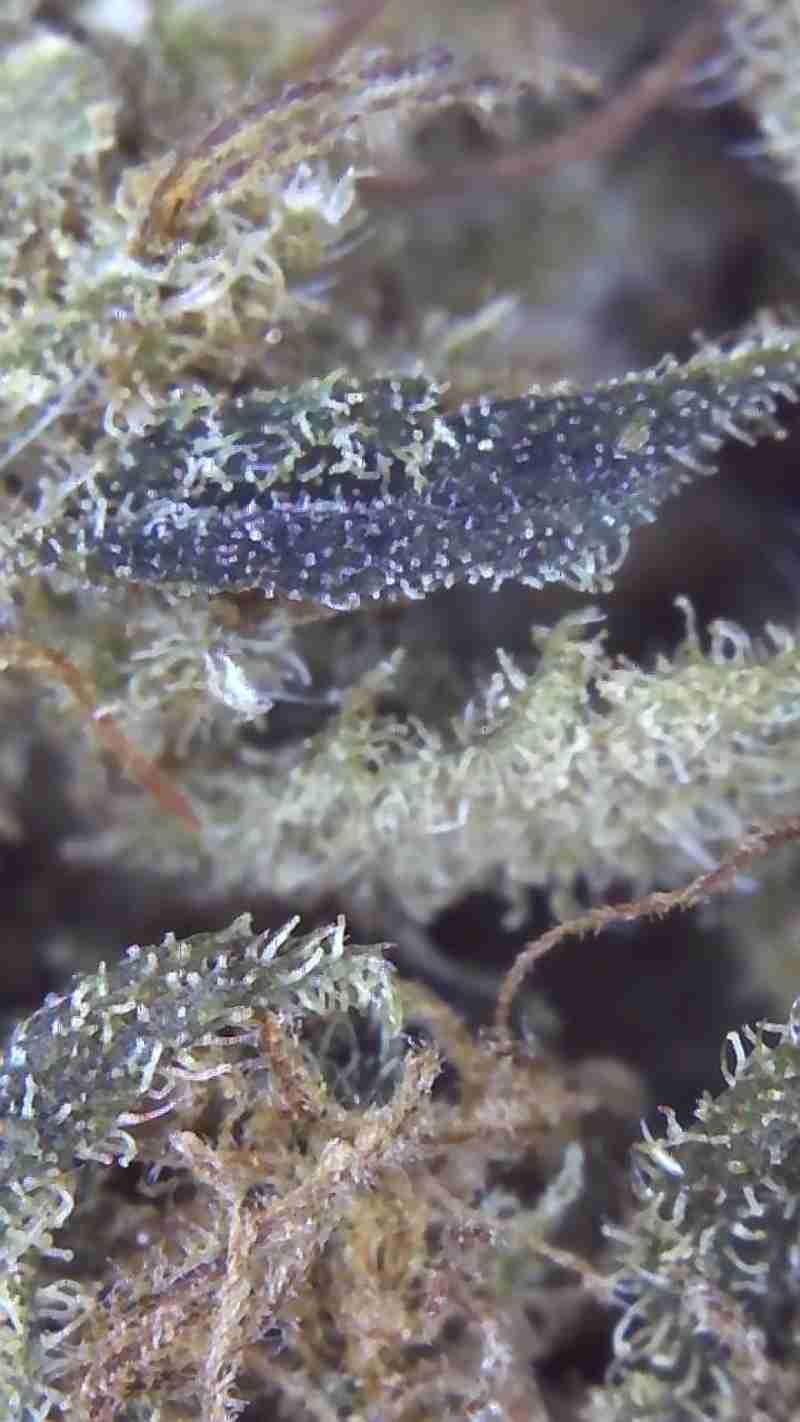 Lemon Haze Susz Konopny CBD 6,5% 1