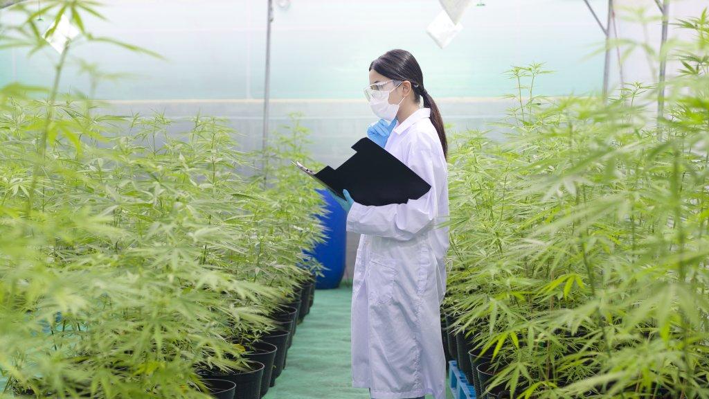 Medyczna marihuana, dla kogo i kto się kwalifikuje